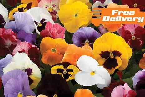 Jersey Plants Direct - 70 or 140 Pansy Colourburst Winter Flowering Plants - Save 21%
