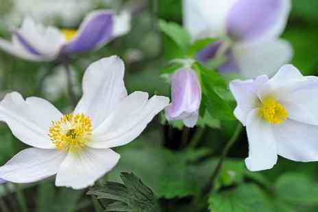 Van Meuwen - Anemone Wild Swan One or Two plants With Free Delivery - Save 0%