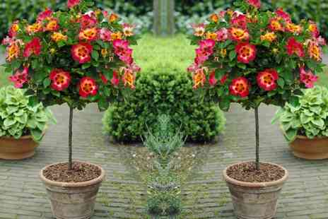Gardening Express - Standard Rose Trees Babylon Eyes With Free Delivery - Save 0%