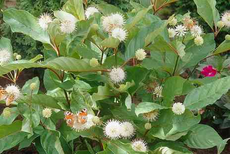 You Garden - Buttonbush Plant With Free Delivery - Save 0%