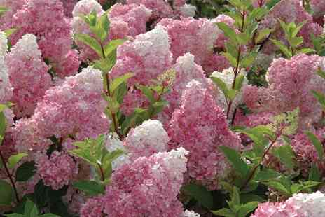 Van Meuwen - Hardy Shrub Hydrangea Vanille Fraise 1, 2 or 3 Plants With Free Delivery - Save 0%