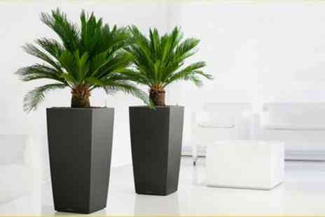 Gardening Express - Pair of King Sago Palm Trees Cycas Revoluta With Free Delivery - Save 63%