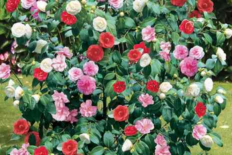 Van Meuwen - Camellia Tricolour Shrub in 15cm Pot With Free Delivery  - Save 35%