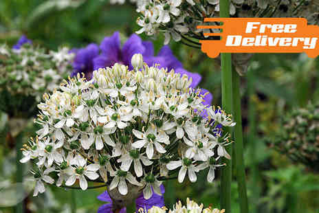 Jersey Plants Direct - 12 or 24 Allium Spring Bulbs White or Purple - Save 0%