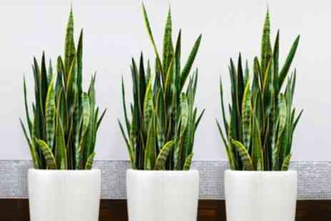 Gardening Express - Pack of Three Sansevieria Snake Plants With Free Delivery - Save 50%