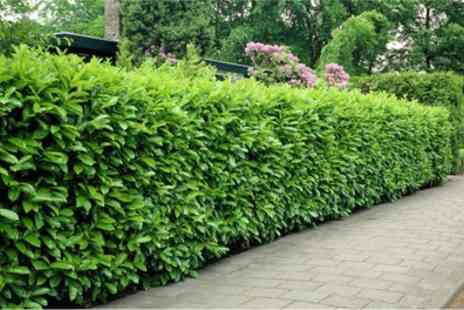 Gardening Express - 5, 10 or 20 Evergreen Laurel Hedge Plants With Free Delivery - Save 60%