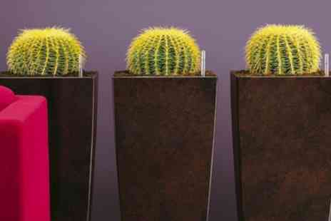 Gardening Express - Three Golden Barrel Cactus Plants With Free Delivery - Save 50%