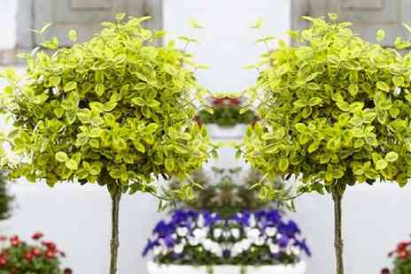 Gardening Express - Euonymous Trees in Choice of Type With Free Delivery - Save 0%
