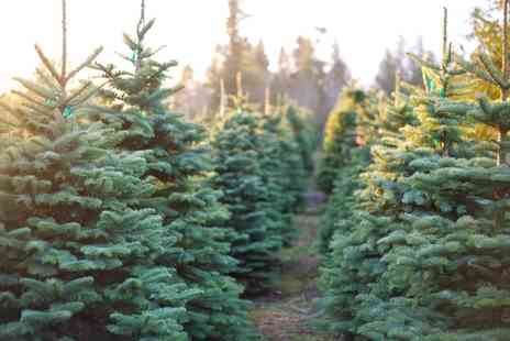 Forestry Commission - Five or Six Foot Nordman Fir Christmas Tree - Save 0%
