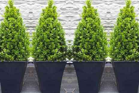 Gardening Express - Two or Four Topiary Buxus Pyramids with Optional Planters With Free Delivery - Save 50%