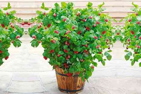 Gardening Express - Dwarf Raspberry Plant With Free Delivery - Save 0%
