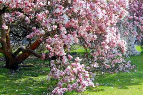 Gardening Express - One or Two Mystical Magnolia Collections With Free Delivery - Save 67%