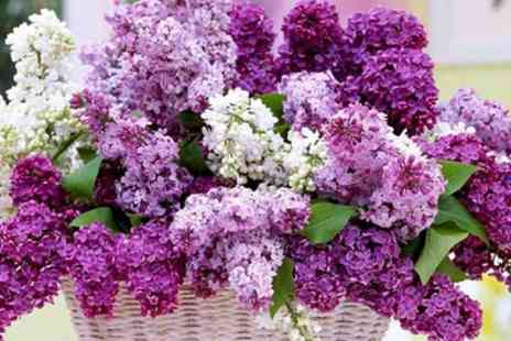 Gardening Express - Three or Six Fragrant Purple Lilac Trees With Free Delivery - Save 67%