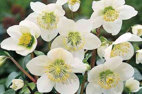 Gardening Express - White Christmas Rose Three Plants or Six Plants in Gold Pots With Free Delivery - Save 0%