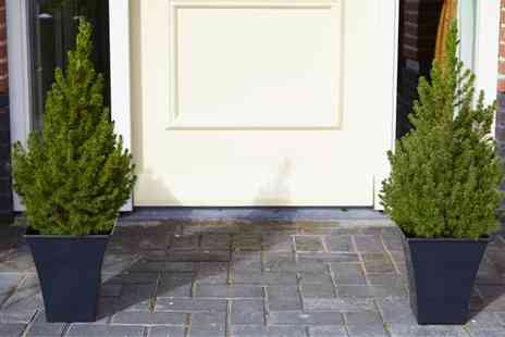 Gardening Express - One or Two Contemporary Christmas Trees in Black Flared Planters With Free Delivery - Save 0%