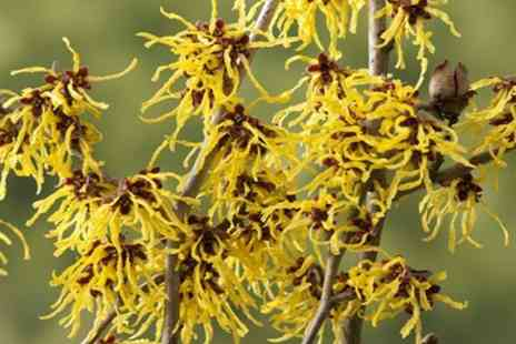 Gardening Express - Witch Hazel Shrub With Free Delivery - Save 38%