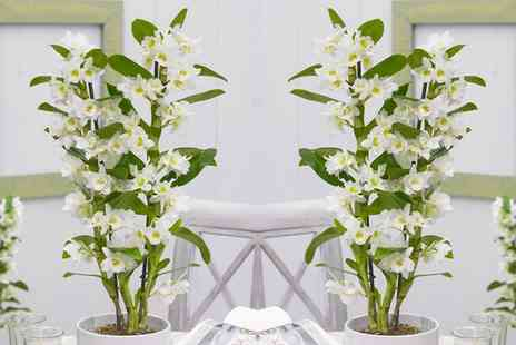 Gardening Express - Towering Nobile Orchid in Pot With Free Delivery - Save 0%
