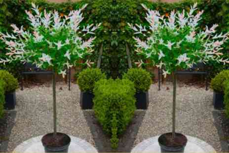 Gardening Express - Two Salix Flamingo Trees with Optional Decorative Planters Include Free Delivery - Save 50%