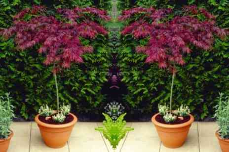Gardening Express - One or Two Large Weeping Acer Japanese Maple Trees With Free Delivery - Save 50%