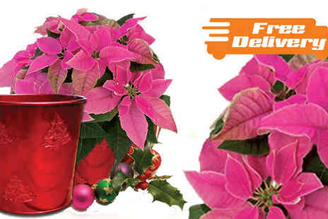 Jersey Plants Direct - Pink Princettia in Christmas Planter Free Delivery - Save 0%