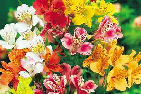 Van Meuwen - 6, 10 or 18 Peruvian Lily Plants With Free Delivery - Save 0%