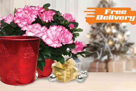 Jersey Plants Direct - Christmas Azalea Plant with Free Delivery - Save 0%