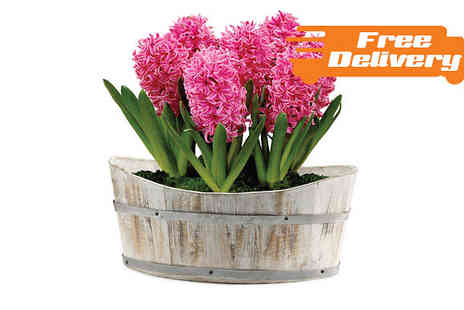 Jersey Plants Direct - Pink Hyacinth with Planter Free Delivery - Save 0%