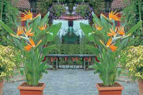 Van Meuwen - Exotic Bird of Paradise Plant With Free Delivery - Save 0%
