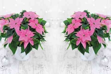Van Meuwen - Princettia Pink or White with Festive Pot Cover Include Free Delivery - Save 0%