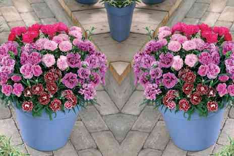 Van Meuwen - Six Scented Dianthus Plants With Free Delivery - Save 0%