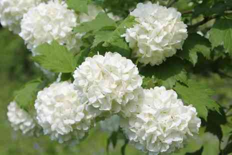 Van Meuwen - Hardy Snowball Shrubs With Free Delivery - Save 0%