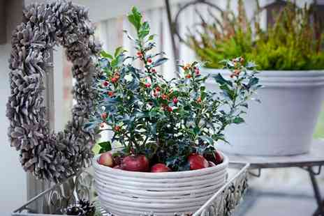 Gardening Express - Festive Holly Plants With Free Delivery - Save 56%