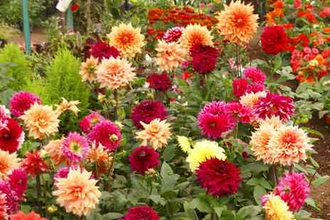 Van Meuwen - Dahlia Collection - Four or Eight Plants With Free Delivery - Save 0%