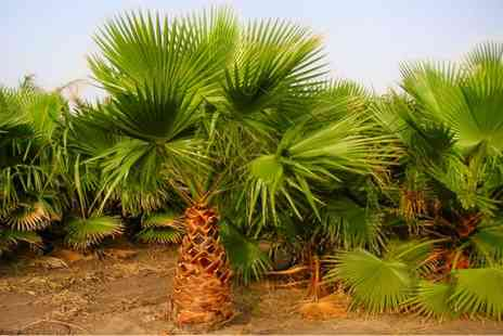 Gardening Express - Two Mexican Fan Palms or Four With Free Delivery - Save 75%