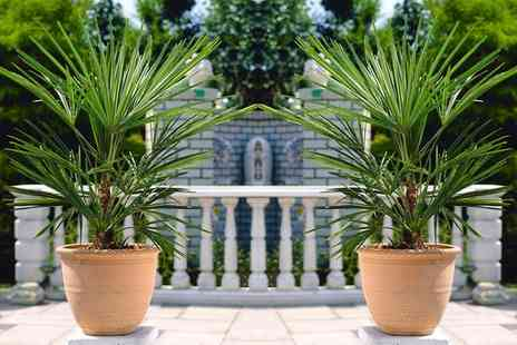 Gardening Express - Hardy Chusan Windmill Fan Palm Trachycarpus Fortunei With Free Delivery - Save 50%