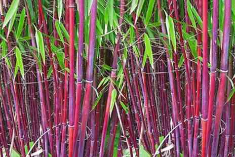 Gardening Express - One, Two or Three Bamboo Red Panda Plants With Free Delivery - Save 29%