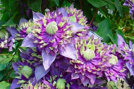 Gardening Express - Climbing Clematis Taiga Plant With Free Delivery - Save 22%