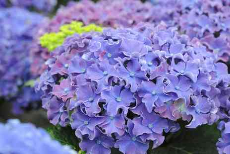 Van Meuwen - Hydrangea Curly Sparkler Collection, Two or Four Plants With Free Delivery - Save 50%