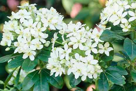 Van Meuwen - Four or Eight Plant Evergreen Flowering Shrub Collection - Save 47%