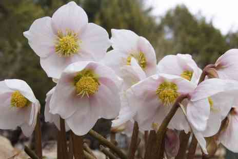 Gardening Express - 6,12 or 18 Helleborus Niger Praecox Winter Rose Plants With Free Delivery - Save 60%