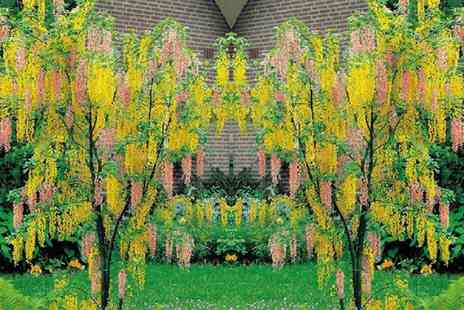 Gardening Express - Adams Laburnum Young Tree With Free Delivery - Save 40%