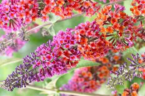 Gardening Express - Buddleia Flower Power Bicolour Flowered Butterfly Bush With Free Delivery - Save 38%