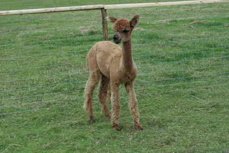 Lucky Tails Alpacas - Adopt an Alpaca package with meet and greet option - Save 55%