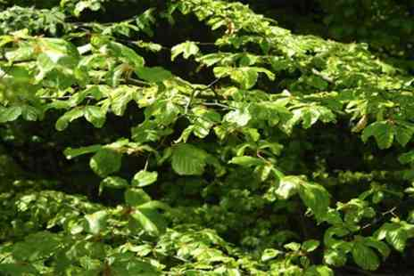 Groupon Goods Global GmbH - Green Beech Bare Root Hedging Plants 10, 20 or 40 plants - Save 11%