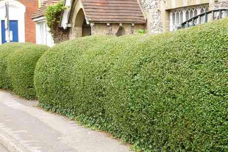 Groupon Goods Global GmbH - Privet Bare Root Hedging Plants - Save 0%