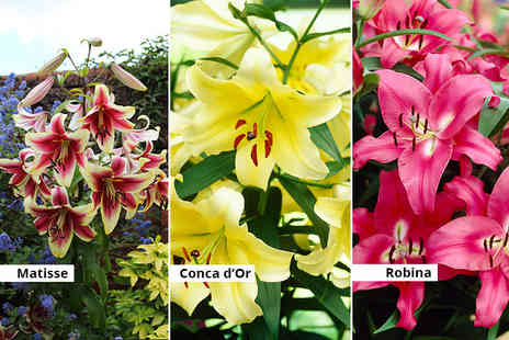 Blooming Direct -Jumbo skyscraper lily collection get five Conca d or bulbs, five Robina bulbs and five Matisse bulbs - Save 33%
