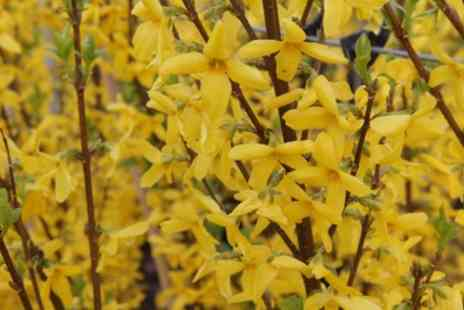 Groupon Goods Global GmbH - Forsythia Mini Gold or Lynwood Plant or Both - Save 40%