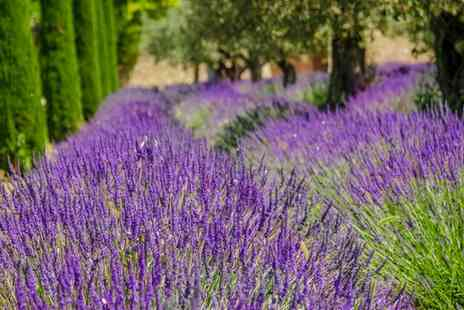 Van Meuwen - Lavender Hidcote and Munstead Collection With Free Delivery - Save 75%