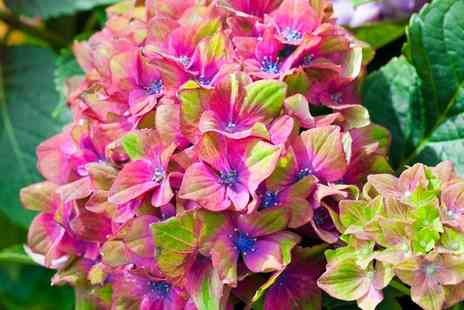 Van Meuwen - Glam Rock Hydrangea Hardy Shrubs with Pots With Free Delivery - Save 38%