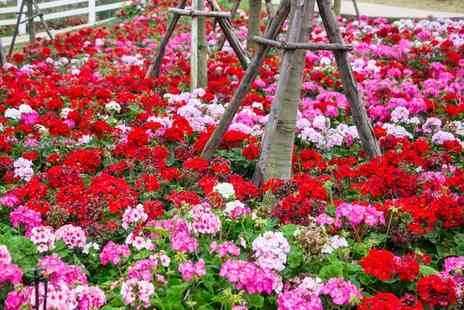 Jersey Plants Direct - 170 Busy Lizzie Jigsaw or Geranium Parade Plug Plants With Free Delivery - Save 35%